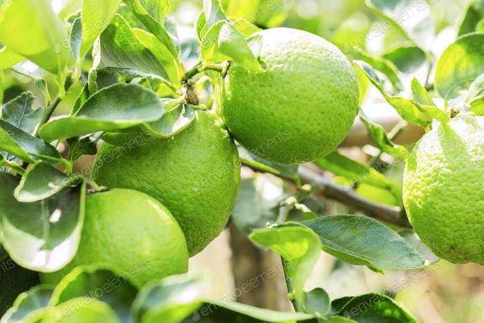 lemons with sunlight