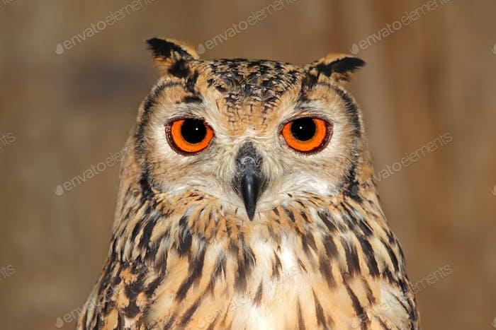 Bengal eagle owl portrait