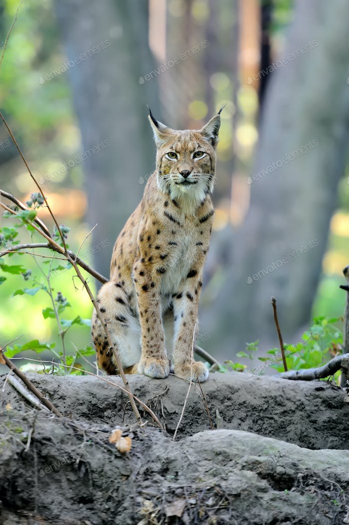 Eurasian Lynx in the forest