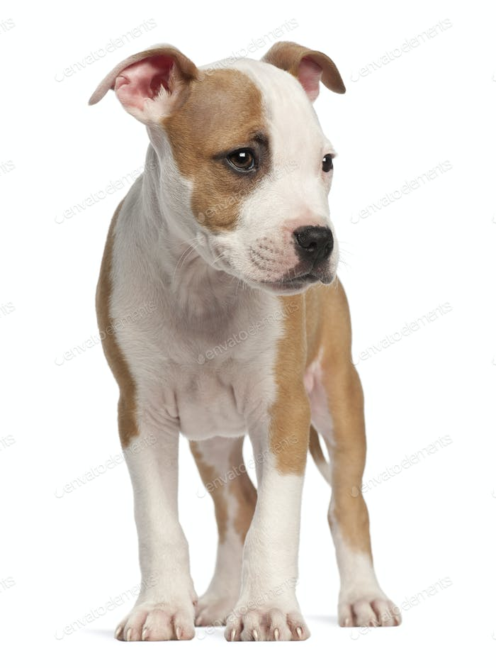 American Staffordshire Terrier puppy, 2 months old, standing against white background