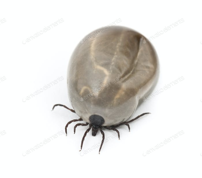 Engorged of blood Castor bean tick, Ixodes ricinus, a species of hard-bodied tick