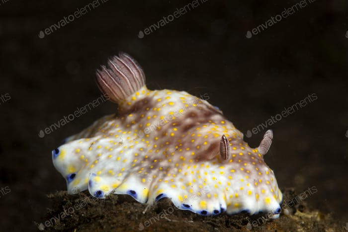 Beautiful chromodoris nudibranch at night