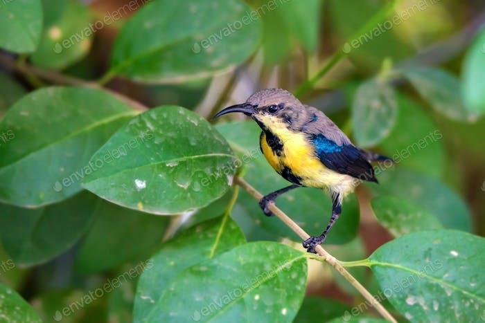 Purple sunbird or Cinnyris asiaticus