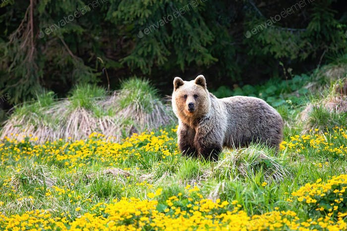 Majestic brown bear standing on a meadow with yellow flowers in spring