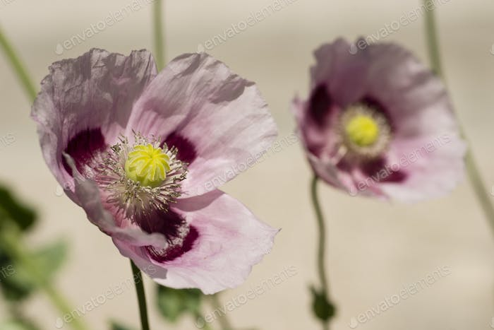 Thumbnail for Opium poppy flower
