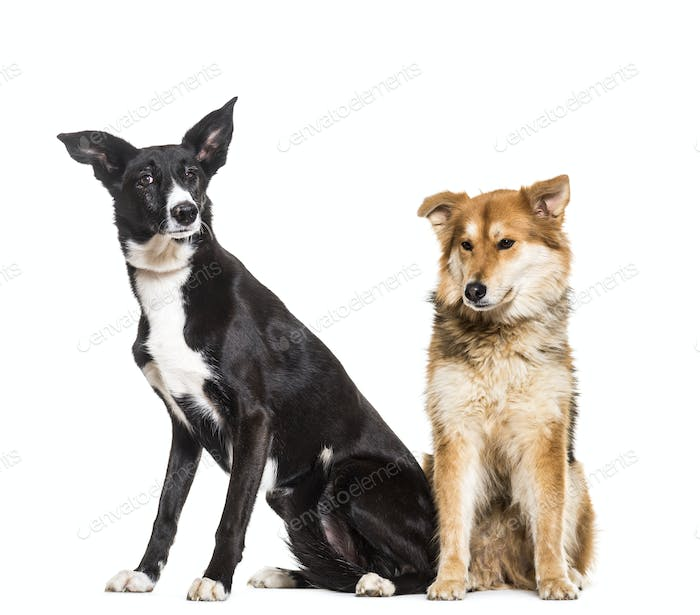 Mixed-breed dogs sitting, cut out