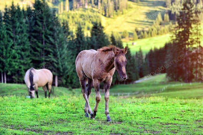 Pferde auf der Wiese in den Bergen
