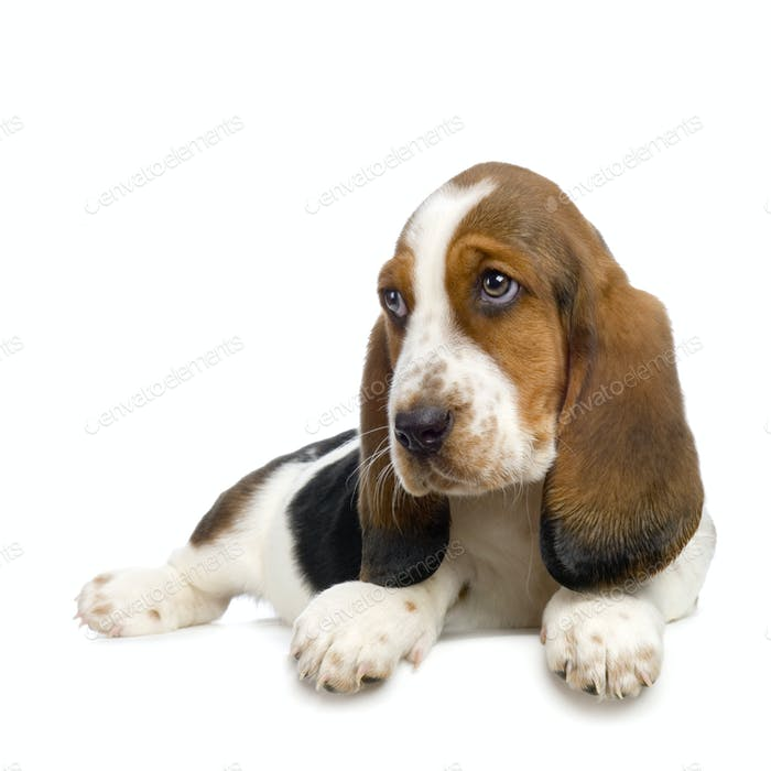 Basset Hound  Puppy -  Hush Puppies