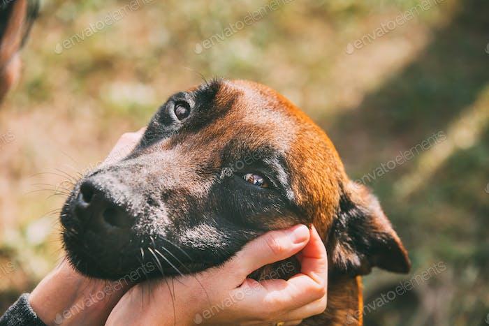 Man Stroking Malinois Dog In Summer Day. Belgian Sheepdog Or She