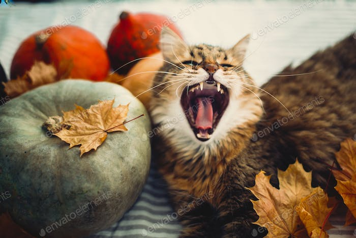 Cute Maine coon cat yawning with funny expression