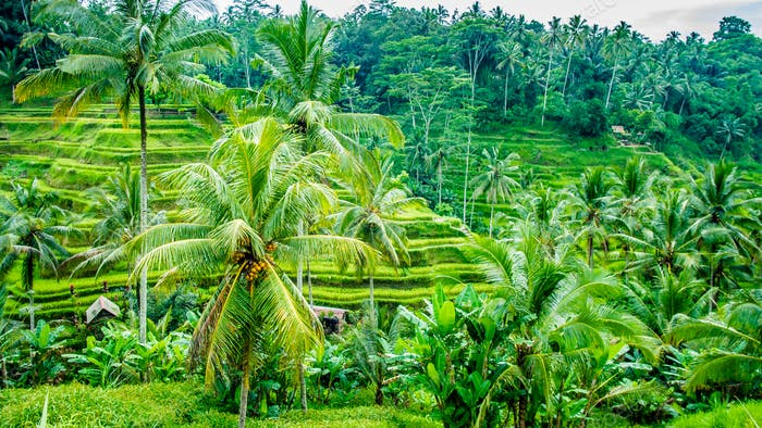 Amazing Tegalalang Rice Terrace Fields and some Palm Trees Around, Ubud, Bali, Indonesia