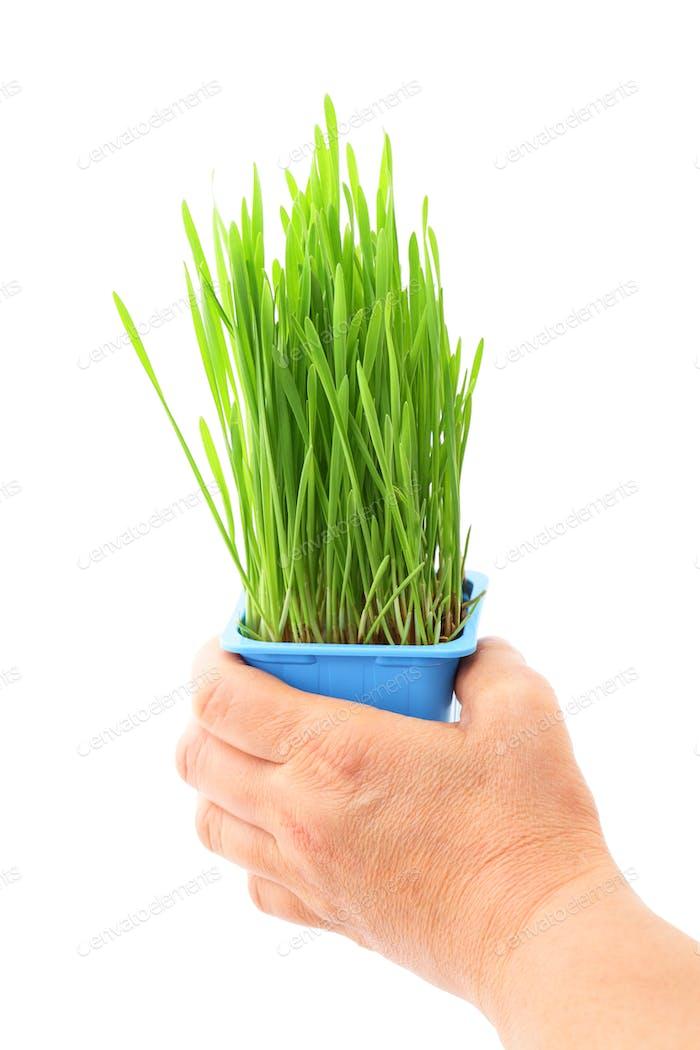 Hand hold wheatgrass in flowerpot