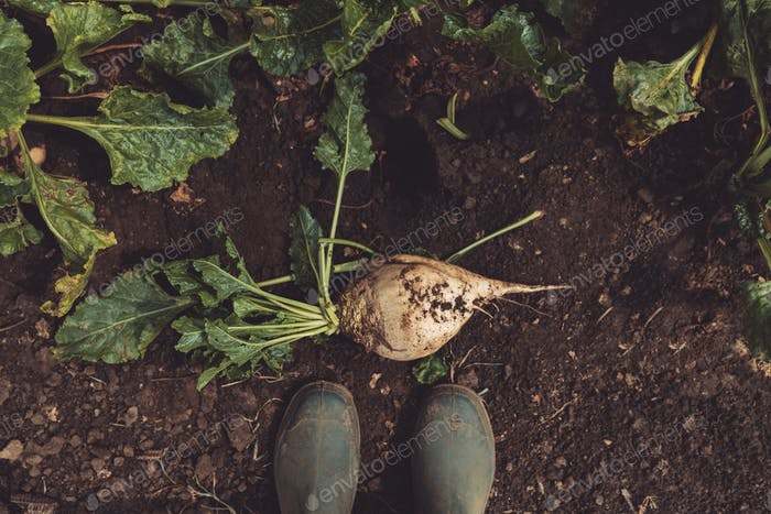 Farmer standing directly above extracted sugar beet root crop