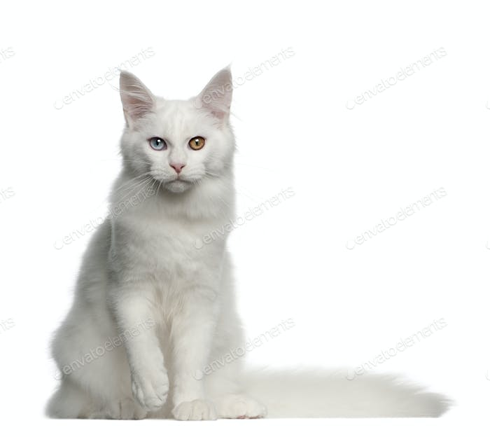 Portrait of Maine Coon cat, 5 months old, sitting in front of white background