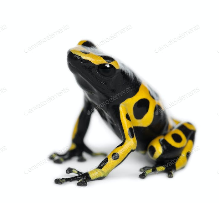 Yellow-Banded Poison Dart Frog, also known as a Yellow-Headed Poison Dart Frog