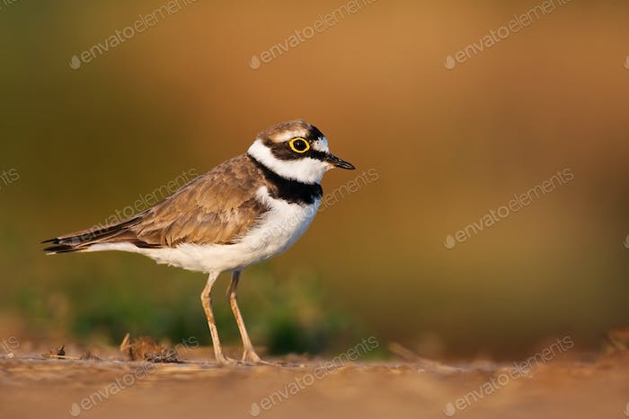 Little ringed plover, charadrius dubius, at sunrise with copy space