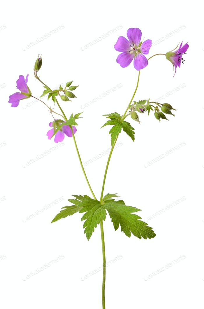 Meadow geranium (Geranium pratense) flower