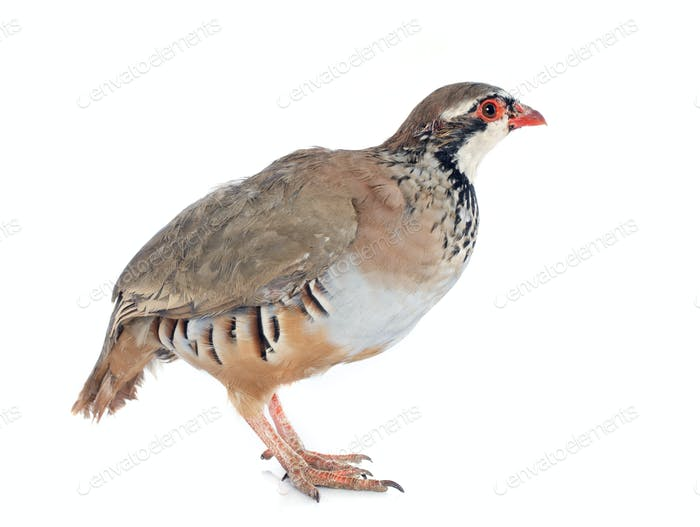 French Partridge, Alectoris rufa
