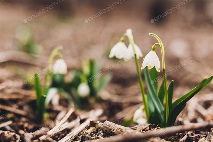 Fresh spring snowflake blooming white flowers and green stems in garden after rain