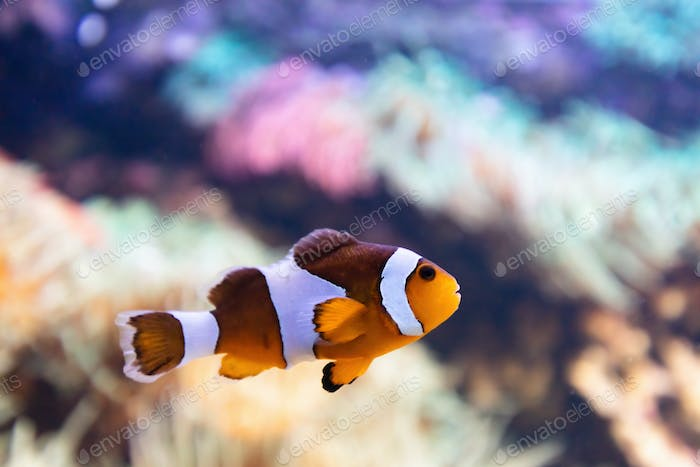 Clownfish underwater. Fish and coral reef in the ocean.