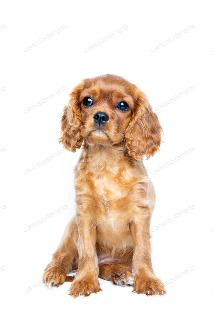 Sitting puppy isolated on white background
