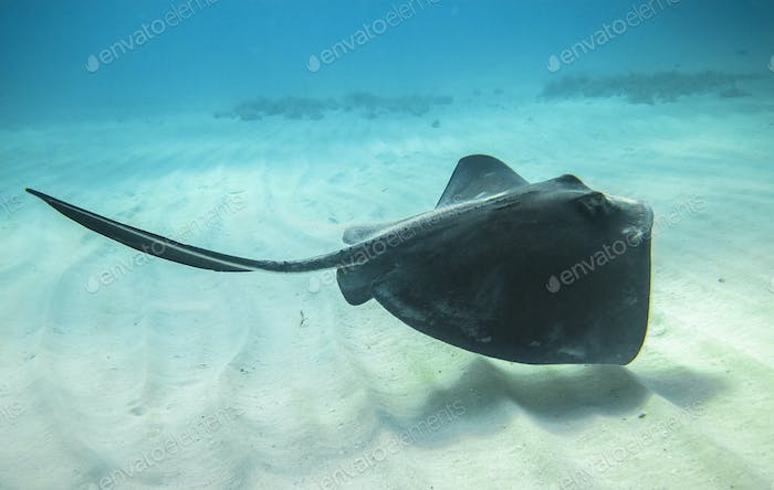 Southern Stingray on the Caribbean Sea Floor