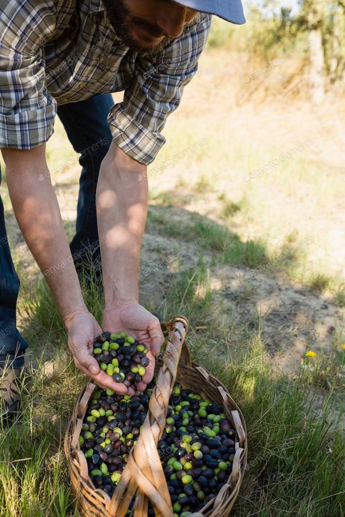 Farmer holding a hand full of olives in farm