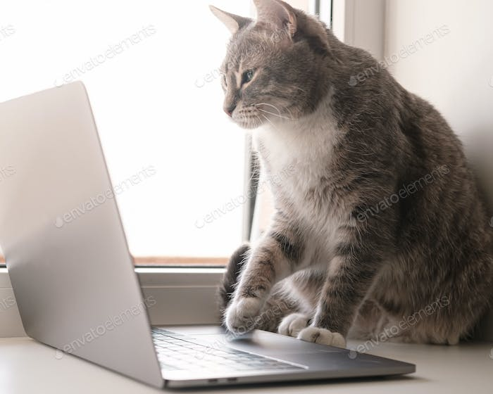 Focused, serious cat works remotely on a laptop, sitting on a windowsill by the window at home