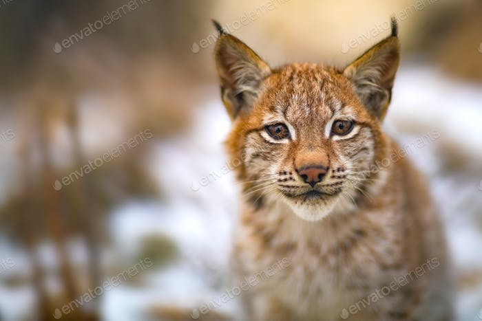 Eurasian lynx rests in the forest at early winter