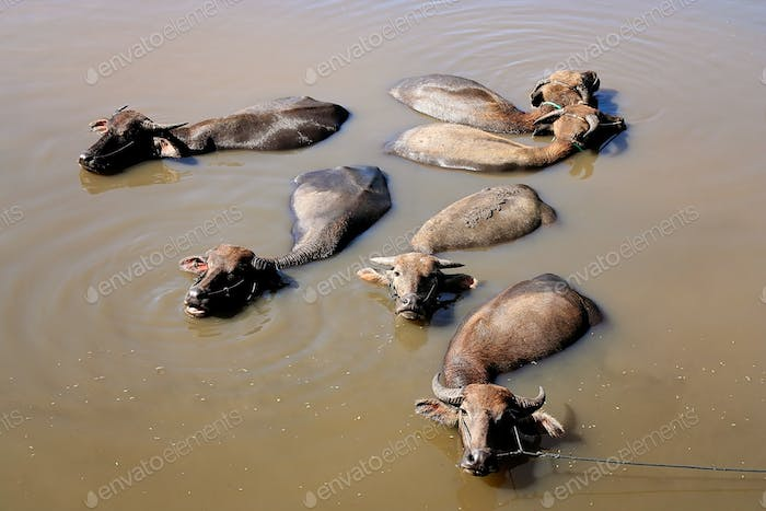 Water buffaloes having bath