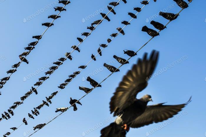 Niedrigwinkelansicht von Tauben ruht auf elektrischen Drähten.
