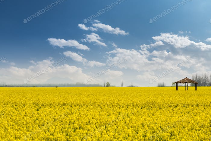 rapeseed flower field in sunny spring