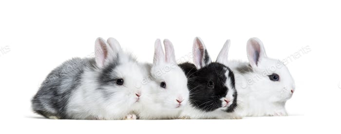 Four young rabbits, 8 weeks old, in a row in front of white background