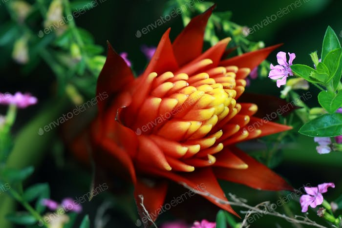 Exotic red and yellow flower