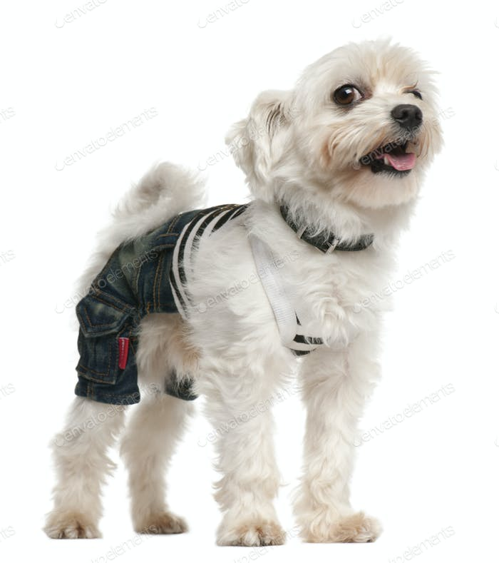 Dog wearing jeans ,4 years old, dressed up and standing in front of white background