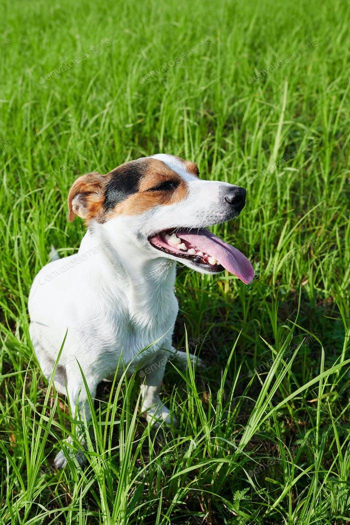 Entzückender Hund stark atmet auf Gras