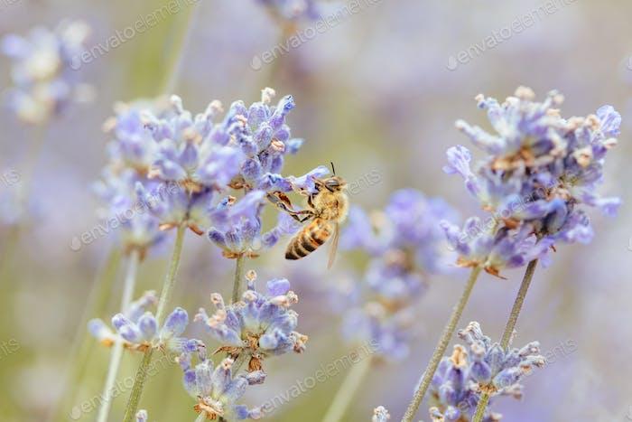 Biene in einem Lavendelfeld in Wandin Victoria Australien