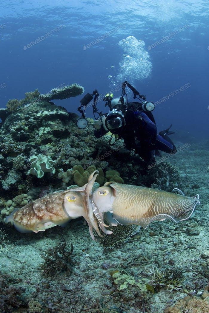 A scuba diver captures photographs of a pair of mating Broadclub cuttlefish (Sepia latimanus).