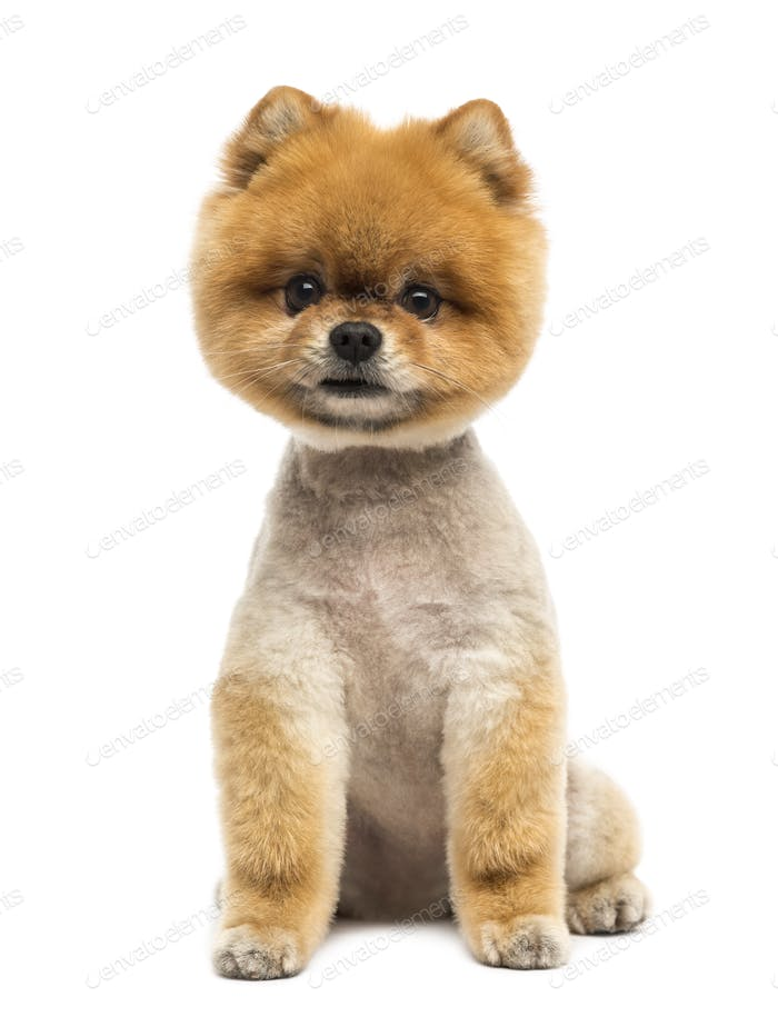 Pomeranian dog sitting and looking at the camera