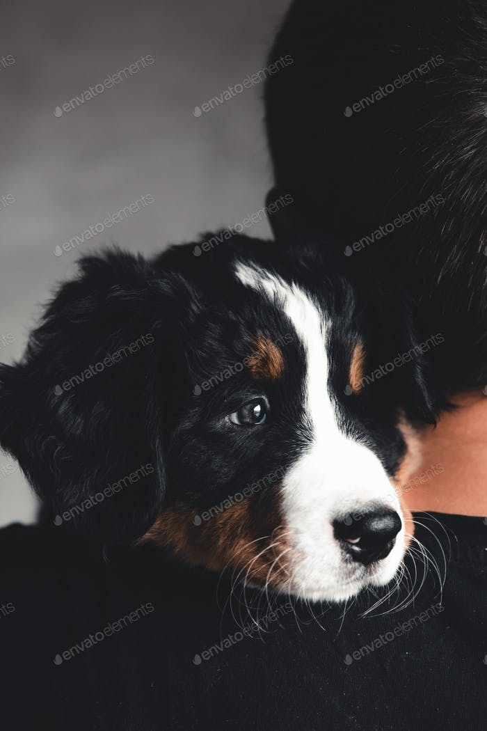 Young, Bernese Mountain Dog in the hands. Close-up, white isolated background