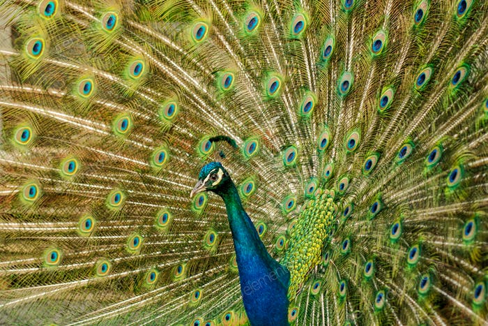 Peacock with colorful spread feathers