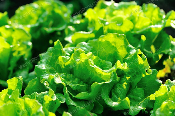 Green lettuce crops in spring sunshine