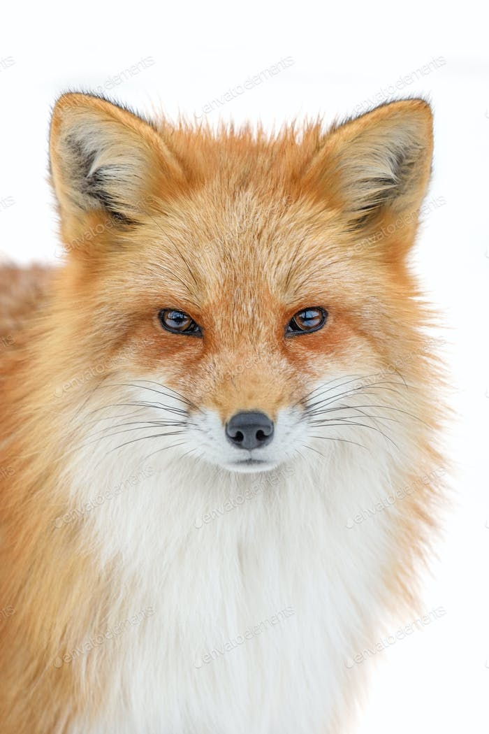 Portrait Red Fox, Vulpes vulpes, beautiful animal on white background