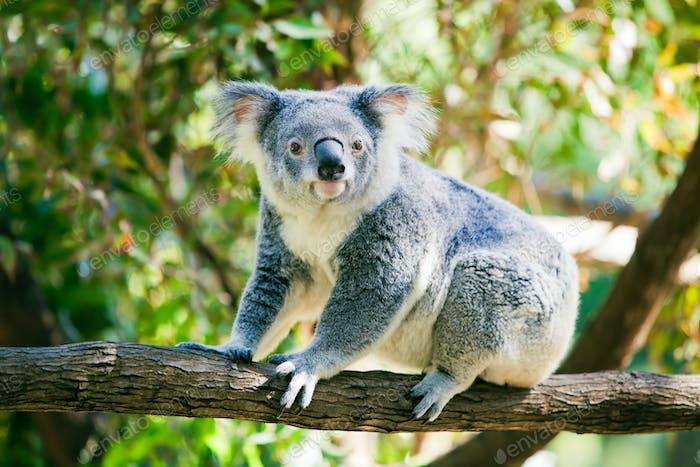 Cute koala in its natural habitat of gumtrees