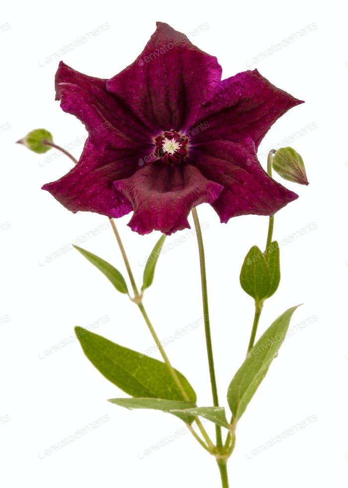 Purple Clematis Blume, isoliert auf weißem Hintergrund