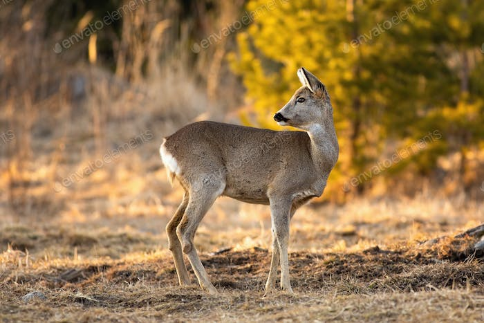 Adorable roe deer doe looking behind and standing on meadow in springtime