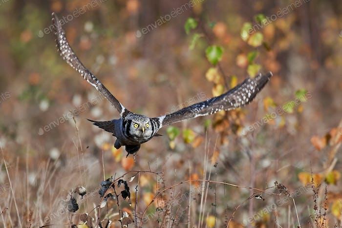 Northern hawk-owl (Surnia ulula)