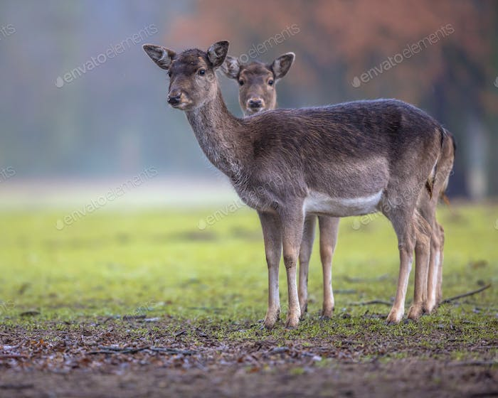 Two dark colored female Fallow deer
