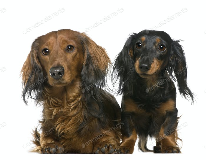 Dachshund, 3 and 2 years old, lying in front of white background