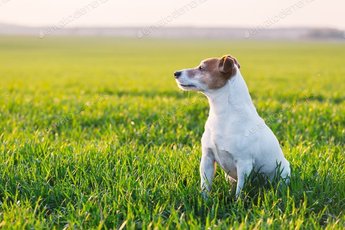 Jack russel terrier on green field